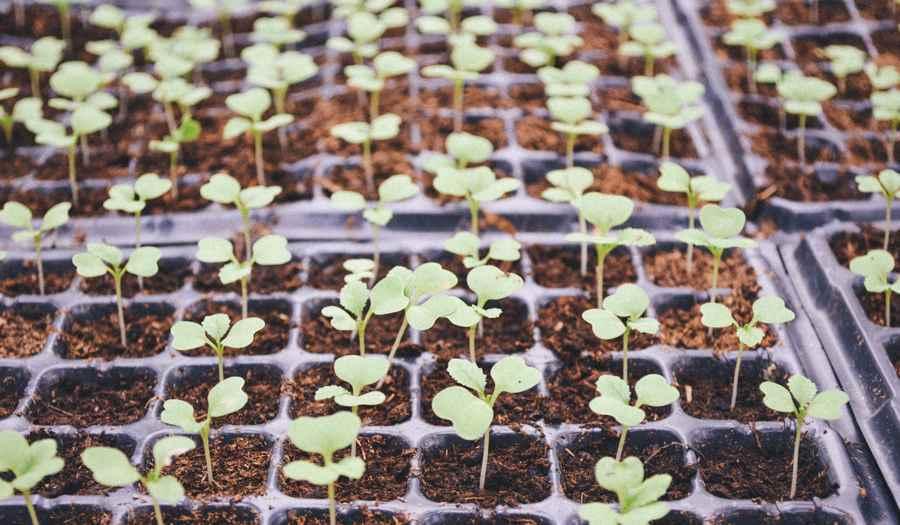Wysiew nasion warzyw na rozsadę w ogródku