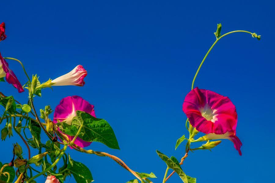 Najpiękniejsze pnącza kwitnące jednoroczne do ogrodu