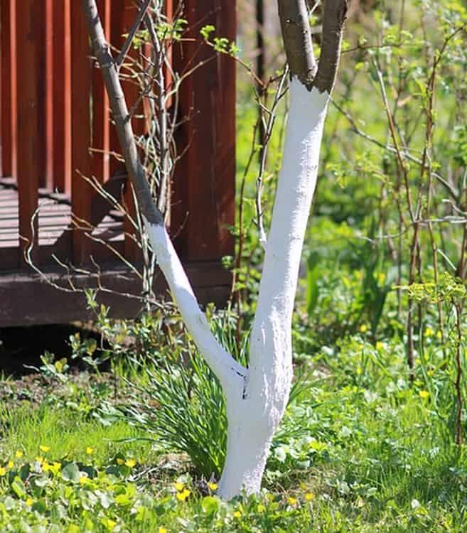 Bielenie pni drzew i krzewów owocowych - kiedy i po co wykonuje się taki zabieg?